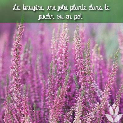 la bruyère, dans le jardin ou en pot