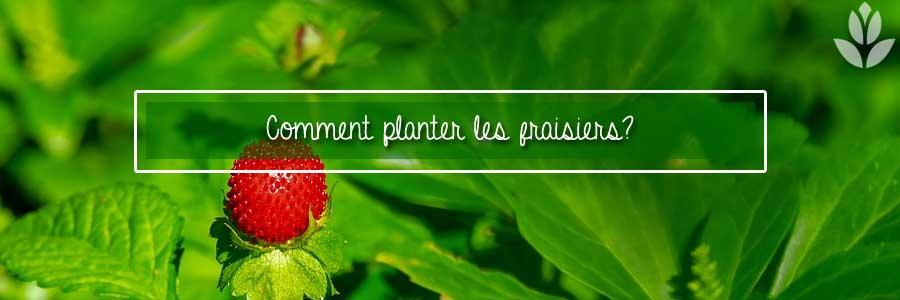 comment planter les fraisiers?