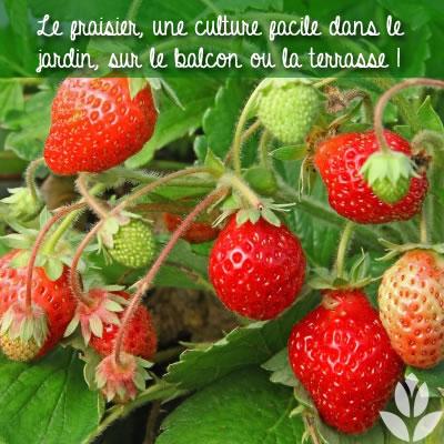 cultiver facielement des fraisiers