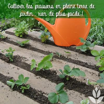 fraisier en pleine terre de jardin... ou dans le potager