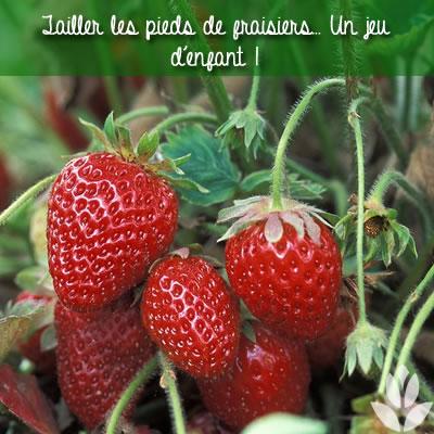 tailler les pieds de fraisiers