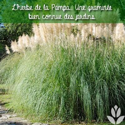 herbe de la pampa dans le jardin