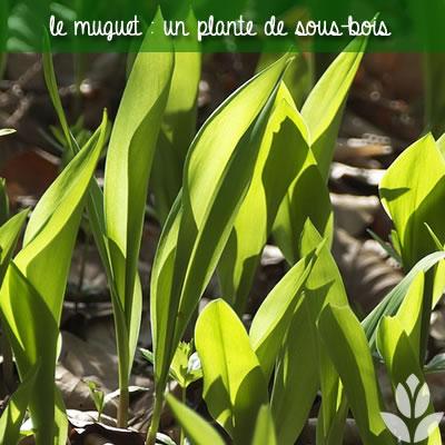 muguet plante de sous bois