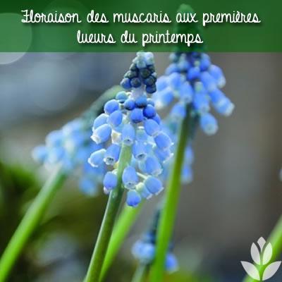 muscari floraison printanière