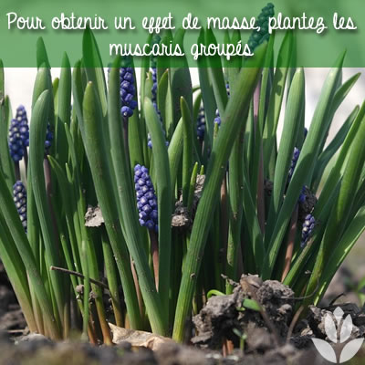 muscaris plantés groupés