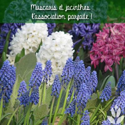 muscaris et jacinthes : l'association parfaite au jardin