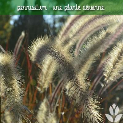 pennisetum une graminée aérienne