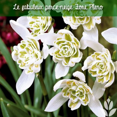 le perce-neige flore pleno