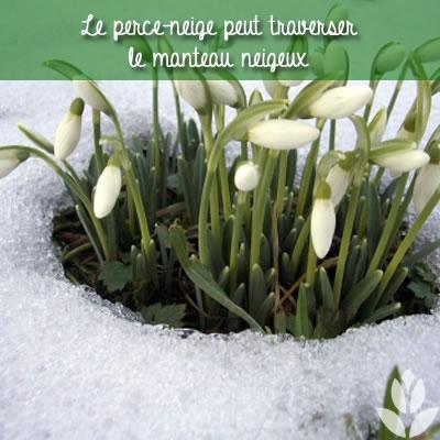 perce-neige au travers de la neige
