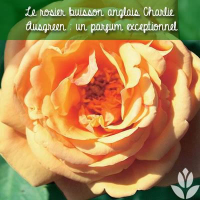 rosier buisson anglais charlie ausgreen parfumé