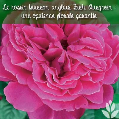 le rosier anglais fish ausgreen : une opulence de roses