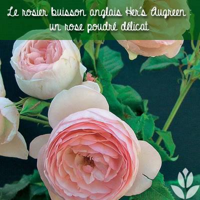 rosier buisson anglais hers ausgreen