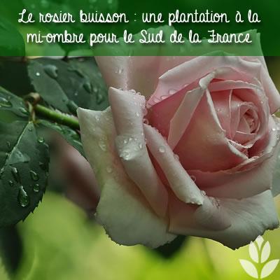 rosier buisson anglais plantation mi-ombre au seud de la France