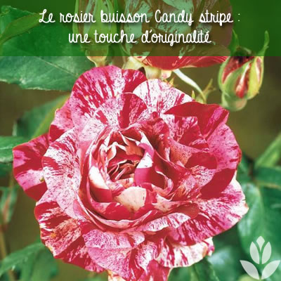 rosier buisson candy stripe