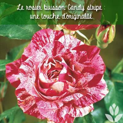 rosier buisson candy stripe
