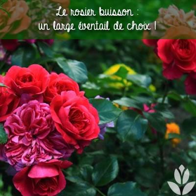 comment choisir son rosier buisson ?