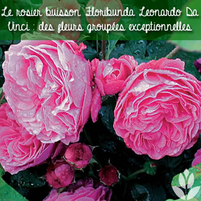 rosier buisson floribunda leonardo da vinci