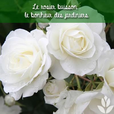 le rosier buisson dans le jardin