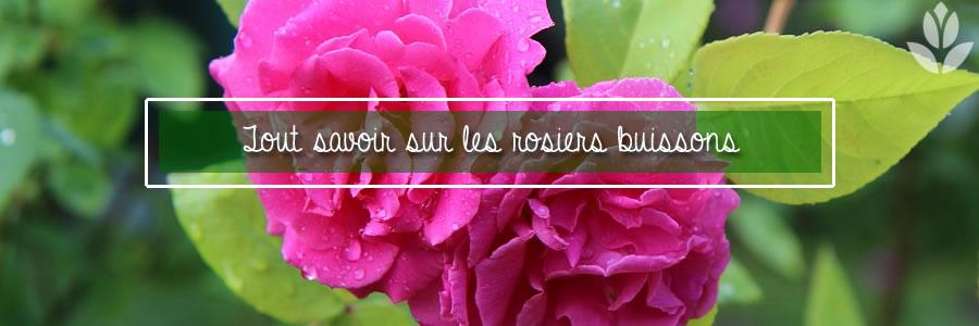 tout savoir sur les rosiers buissons