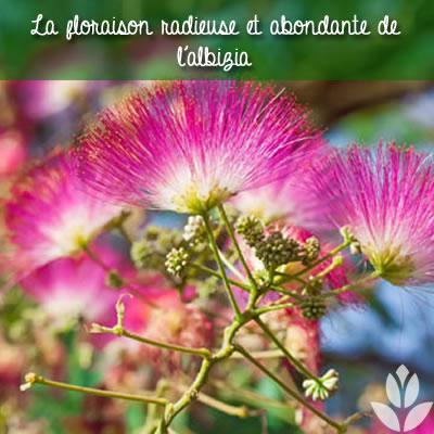 l'abondante floraison de l'albizia