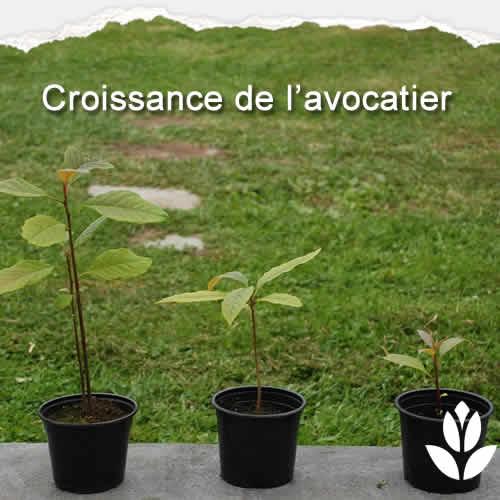 avocatier croissance