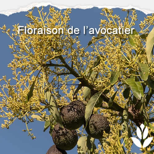 floraison avocatier