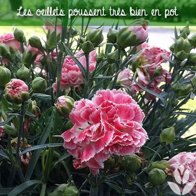 oeillets en pot