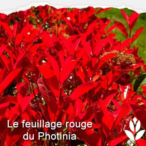 feuillage rouge du photinia