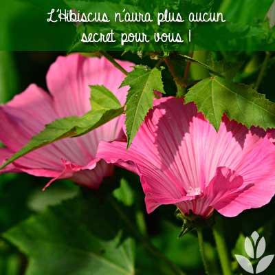 Tout savoir sur l'Hibiscus