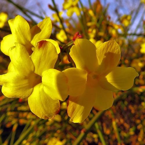 jasmin d'hiver à fleurs jaunes