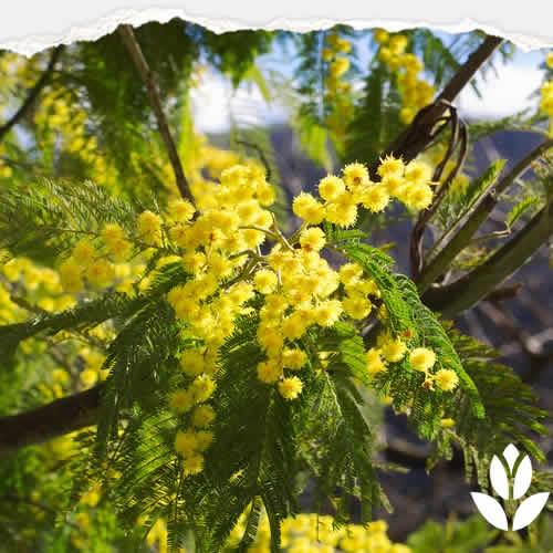 mimosa arbre