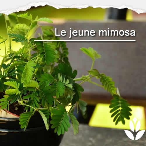 jeune mimosa