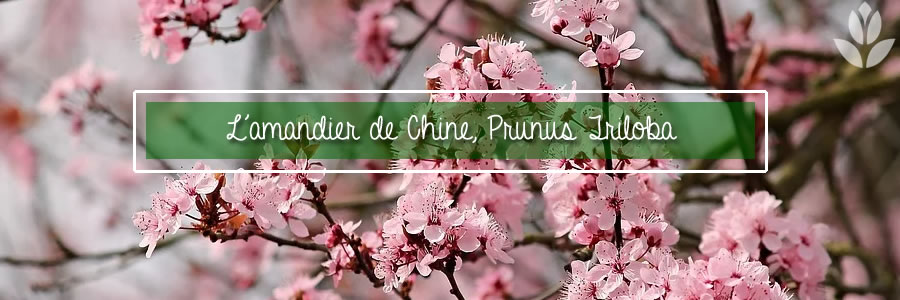 prunus amandier de chine