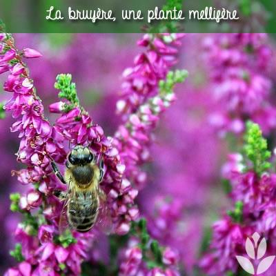 bruyere plante mellifère