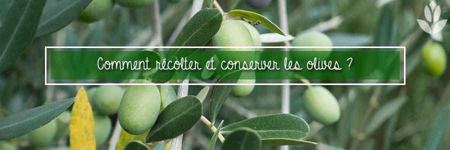 Comment récolter et conserver les olives ?