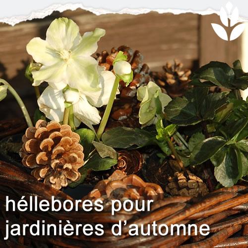 héllebores jardinières d'automne