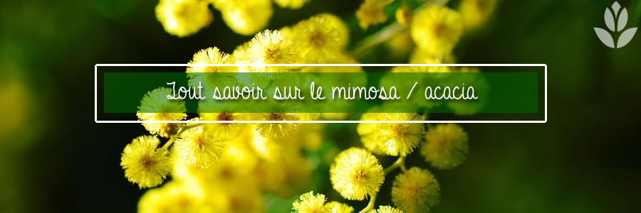tout savoir sur le mimosa acacia