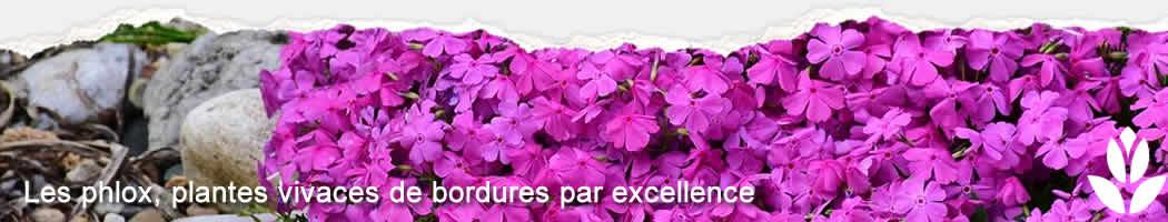 phlox pour bordures de jardin