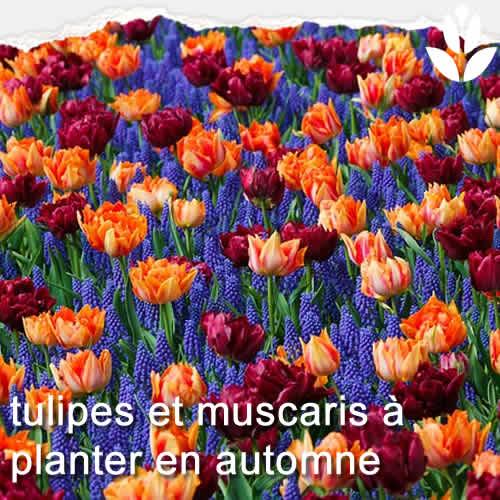 tulipes et muscari à planter en automne
