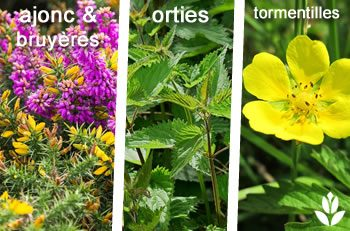 plantes suavages sol humifère