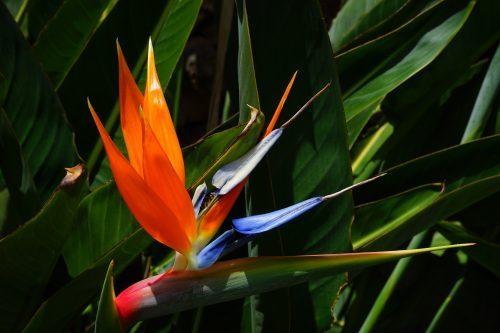 Oiseau Du Paradis Nain Une Plante Originale A Decouvrir