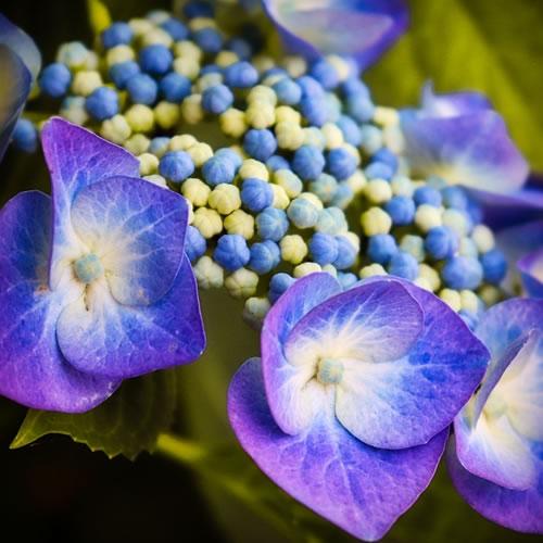 l'hortensia hydrangea