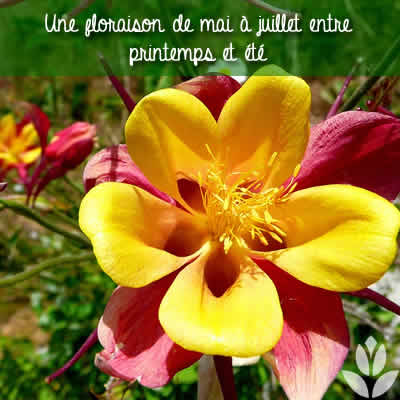 ancolie floraison