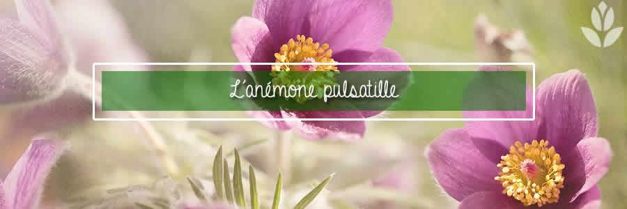anemone pulsatille