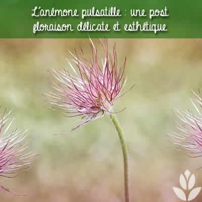anemone_pulsatille post floraison