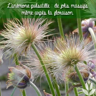 anemone pulsatille post floraison massif