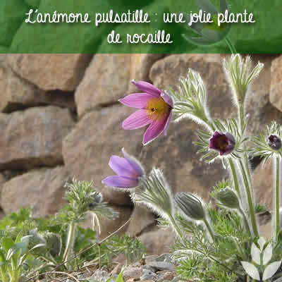 anemone pulsatille rocaille