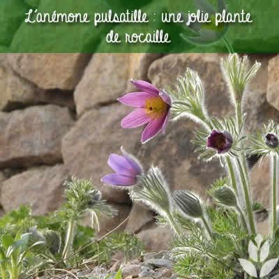 anemone pulsatille rocaille