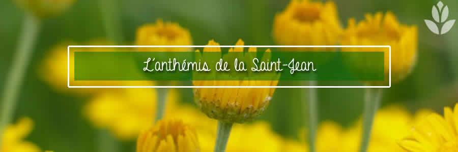 anthemis saint-jean