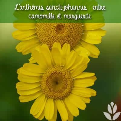 anthemis sancti-johannis marguerite camomille